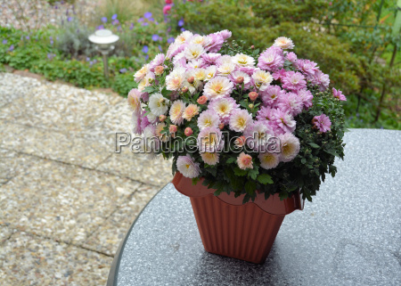 chrysanthemum on the table of the