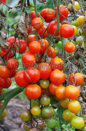 faider marrone pomodoro pomodoro fine blight