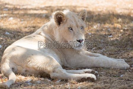 giovane leone bianco