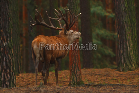 ambiente selvaggio cervo natura