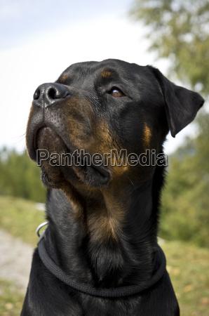 amicizia fedele essenza rottweiler cane cane