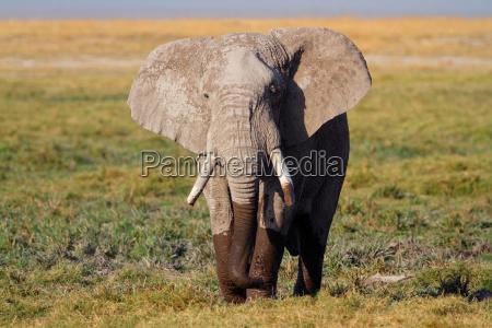 africa elefante kenia zanna natura africano