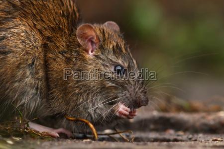 ambiente animale animali peste natura ratto