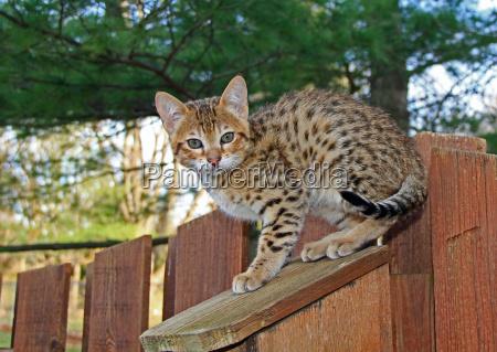 domestico serval savannah gattino
