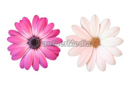 rosa e bianco margerite su sfondo