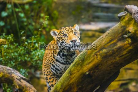 bella jaguar animale nel suo habitat