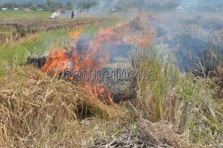bruciando paglia di riso