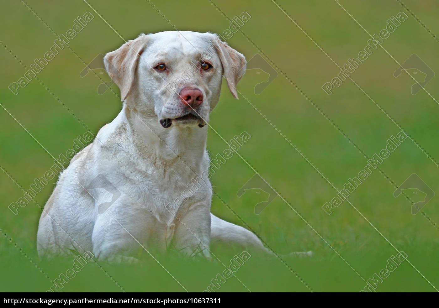 il, labrador, - 10637311