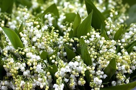 pianta fiore giglio della valle