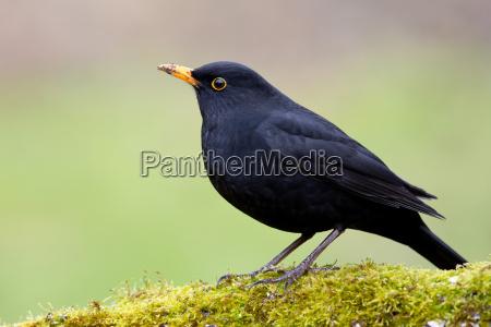animale uccello fauna nero uccelli natura