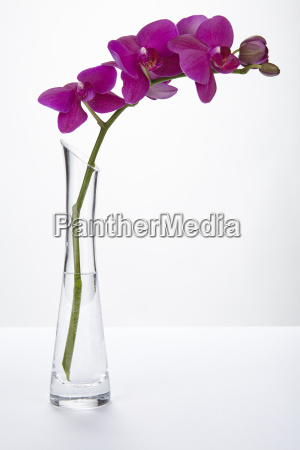 orchidea viola in un vaso