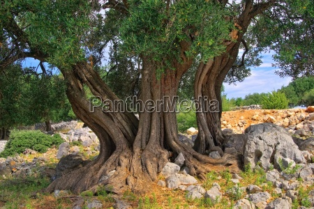 olive tree tribe tronco dulivo 11