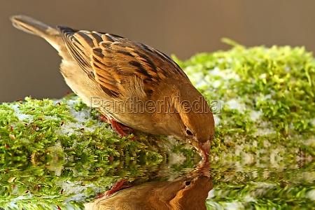 animale uccello uccelli passero passeri