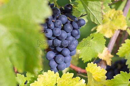 foglia foglie campo vigneti uva vino