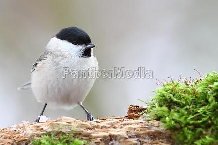 uccello uccelli cincia