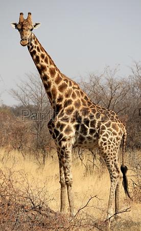 mammifero africa namibia natura safari giraffa