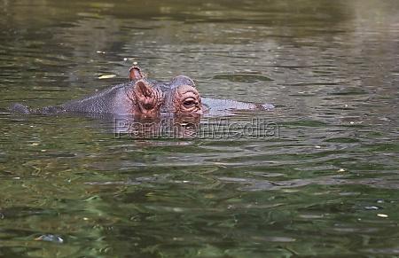 ippopotamo o ippopotamo anfibio in acqua