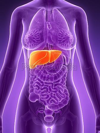 3d rendered illustration liver