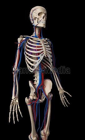 3d rendered illustration vascular system