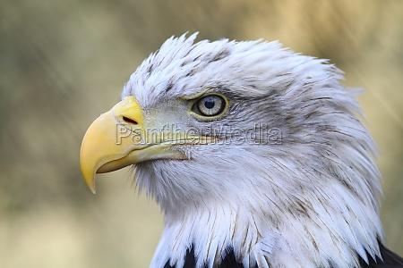 animale uccello animali uccelli rapace aquila