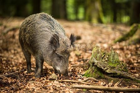albero mammifero selvaggio cinghiale foresta maiale