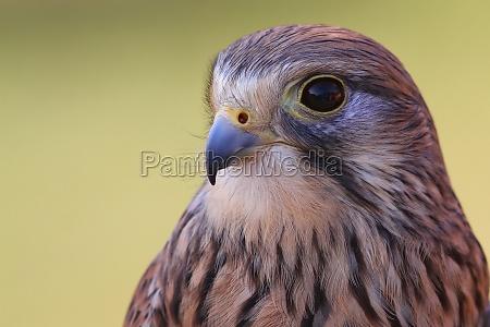 ambiente ritratto falco rapace gheppio natura