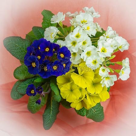 primroses in three colors