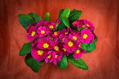 primroses in color pink