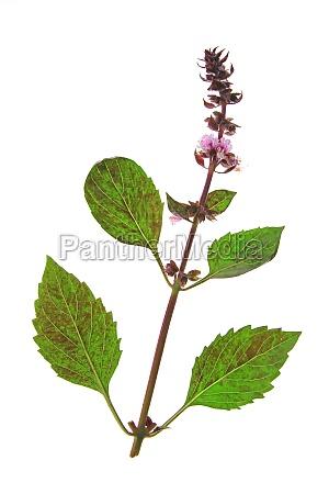 spezia rilasciato opzionale fiore pianta fioritura
