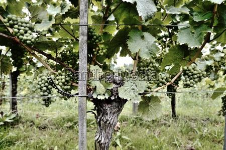 wine rebstock