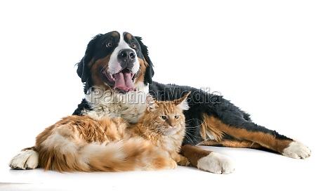 bernese cane bike e gatto