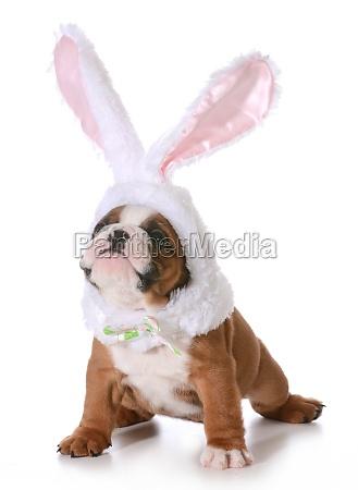 bulldog coniglietto