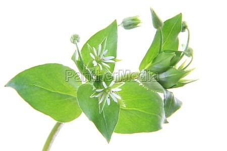 rilasciato opzionale fioritura fiorire erbaccia cerastio