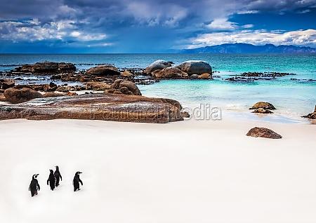 pinguini selvatici sudafricani
