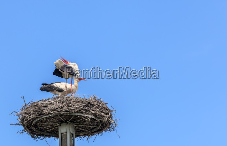 white storks rattle in the nest