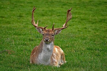 virile mascolino daino cervo