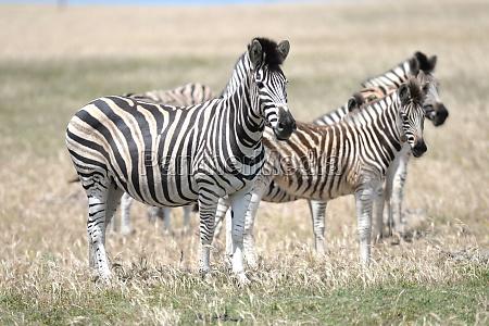 zebra selvaggia