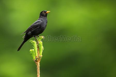 uccello selvaggio allaperto cantante merlo fondale