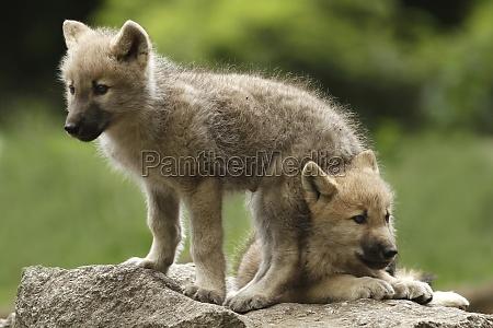 animale animali piccolo poco breve predatore