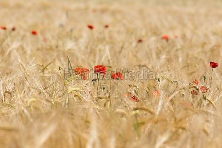 fiore pianta agricoltura campo papavero natura