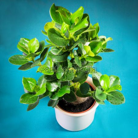 balsam apple houseplant