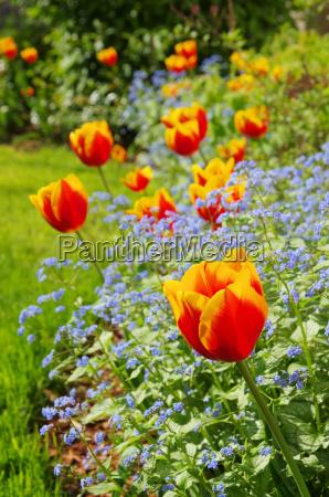 tulipano e gissing faccia tulipano e