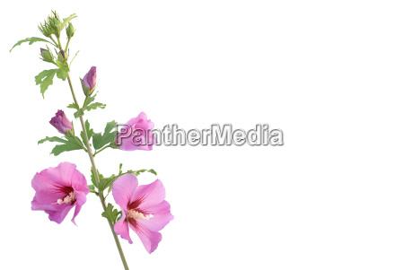 ramo di hibiscus