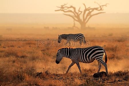 pianure zebre in polvere