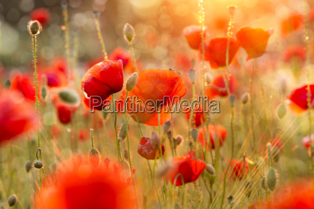 grano papavero orzo rosso cereale