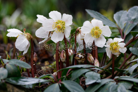 rosa di natale helleborus niger rosa