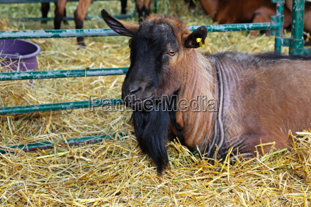 marrone virile mascolino capra caprone bestiame