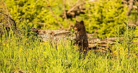 orso america natura giovani