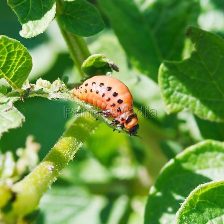 larva di dorifora della patata mangia