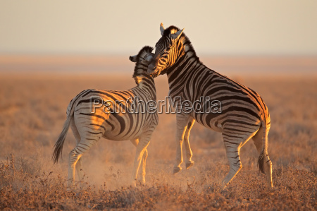 mammifero africa namibia zebra natura
